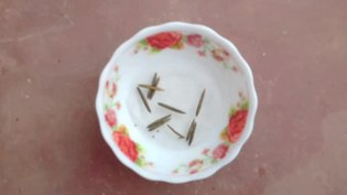 File:Popping pod (Ruellia tuberosa).webm