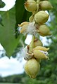 Populus trichocarpa mature female catkins bursting open.jpg