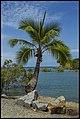 Port Douglas Coconut Tree-1 (15815888578).jpg