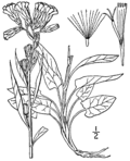 Prenanthes boottii BB-1913.png