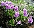 Primula-glutinosa-plant.jpg