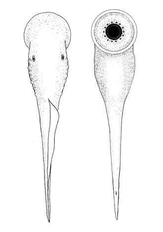 Priscomyzon - Line drawing reconstruction