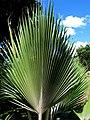 Pritchardia napaliensis (4993746999).jpg