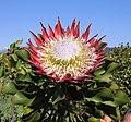 Protéa royale à Stellenbosch (Afrique du Sud).jpg