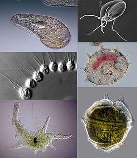 Protozoa Diverse motile unicellular heterotrophic eukaryotic organisms