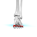 Proximal phalanges of left foot01 anterior view.png