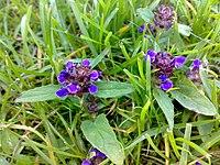 Prunella vulgaris Norway.jpg
