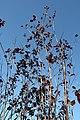 Prunus cerasifera Thundercloud 14zz.jpg