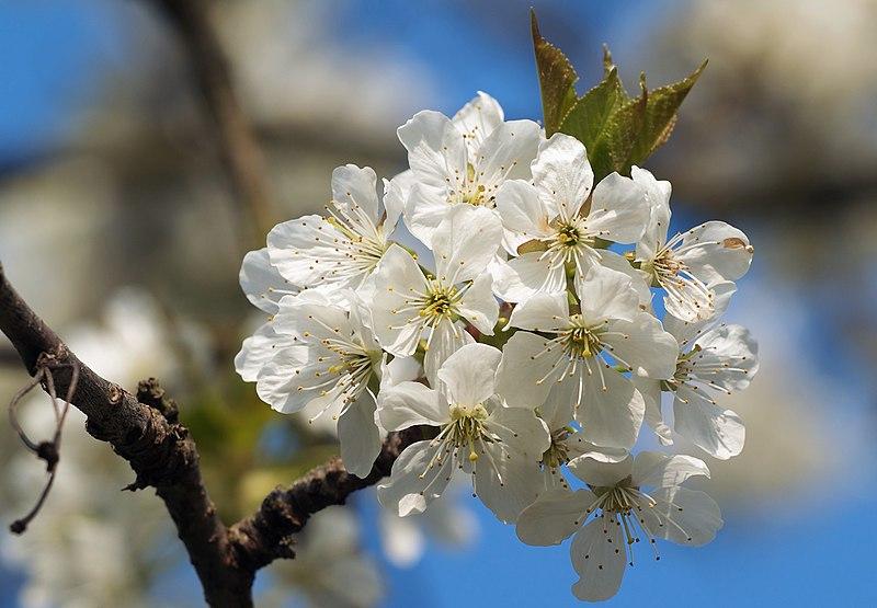 File:Prunus cerasus LC0133.jpg