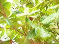 Prunus dulcis (7).JPG