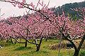 Prunus persica (200804).jpg