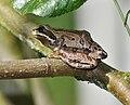 Pseudacris regilla (Pacific Tree Frog).JPG