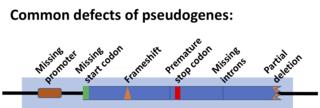 Pseudogene Functionless relative of a gene
