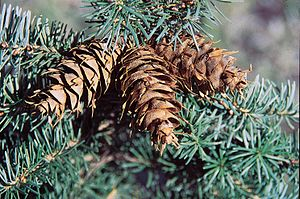 Rocky Mountain Douglas-fir. Cones.
