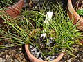 Psilotum complanatum (Psilotum flaccidum) - Talcott Greenhouse - Mount Holyoke College - DSC04534.JPG