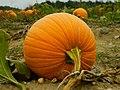 Pumpkin Picking.jpg
