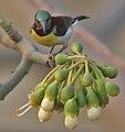 Purple-rumped Sunbird (Leptocoma zeylonica)- Male on Kapok (Ceiba pentandra) in Kolkata W IMG 3905.jpg