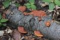 Pycnoporus cinnabarinus (35113711892).jpg