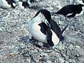 Pygoscelis antarcticus 1978.jpg