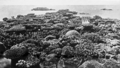 Queensland State Archives 1011 Exposed Coral Great Barrier Reef c 1931.png