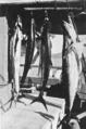 Queensland State Archives 992 Mackerel caught near Lindeman Island c 1931.png