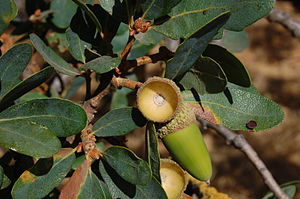 Quercus douglasii - Leaves and acorn