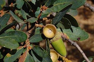 Quercus douglasii - Leaves and acorn