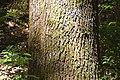 Quercus robur in Eastwoodhill Arboretum.jpg
