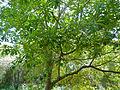Quininetree (Rauvolfia caffra) (11452780935).jpg