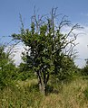 RBG pear-tree.jpg