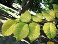 RN Ulmus minor Louis van Houtte leaves (preston manor brighton).JPG