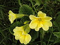 RO BV Primula vulgaris.jpg