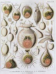 Radiolaria illustration from the Challenger Expedition 1873-76.