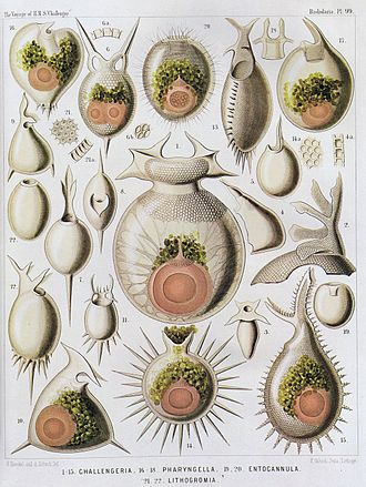 Radiolaria - Radiolaria illustration from the Challenger Expedition 1873–76.