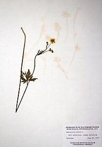 Ranunculus acris BW-1979-0612-0586.jpg