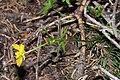 Ranunculus eschscholtzii 6380.JPG