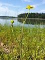 Ranunculus flammula sl12.jpg