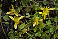 Ranunculus hyperboreus (7833248604).jpg
