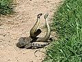 Rattlesnake Dance 02.jpg