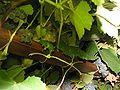 Ratus norvegicus in vine.jpg