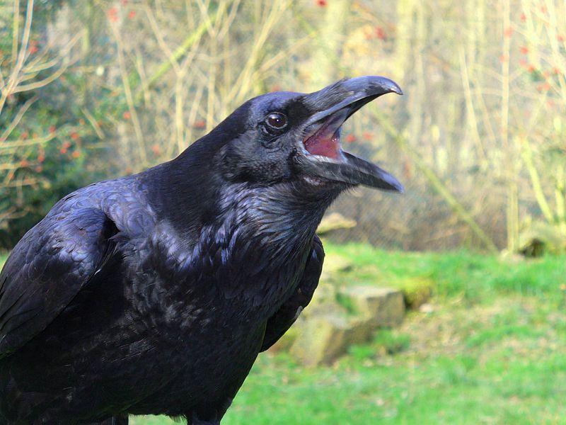 raven squaking