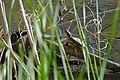 Red-eared Slider Turtle (Trachemys scripta elegans) (26563186522).jpg