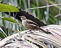Red-eyed Bulbul (Pycnonotus brunneus) - Flickr - Lip Kee (2).jpg