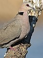 Red-eyed Dove Streptopelia semitorquata at Marievale Nature Reserve, Gauteng, South Africa (32587271263).jpg