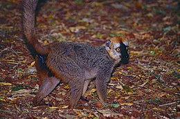 Red-fronted Brown Lemur (Eulemur rufifrons) male (9597806847).jpg