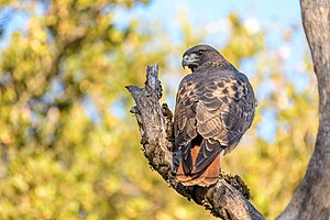 Red-tailed Hawk (45812546121).jpg