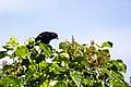 Red-winged blackbird (34681664653).jpg