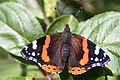 Red Admiral, The Orchard, Hanbury Hall - geograph.org.uk - 251083.jpg