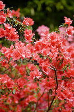 File:Red Flowers (2480609344).jpg