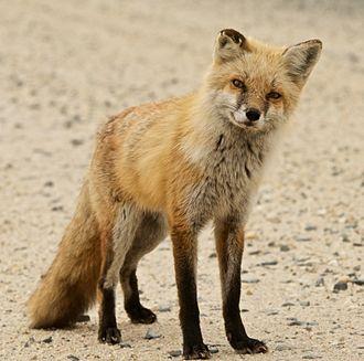 Bombay Hook National Wildlife Refuge - Red fox at Bombay Hook National Wildlife Refuge